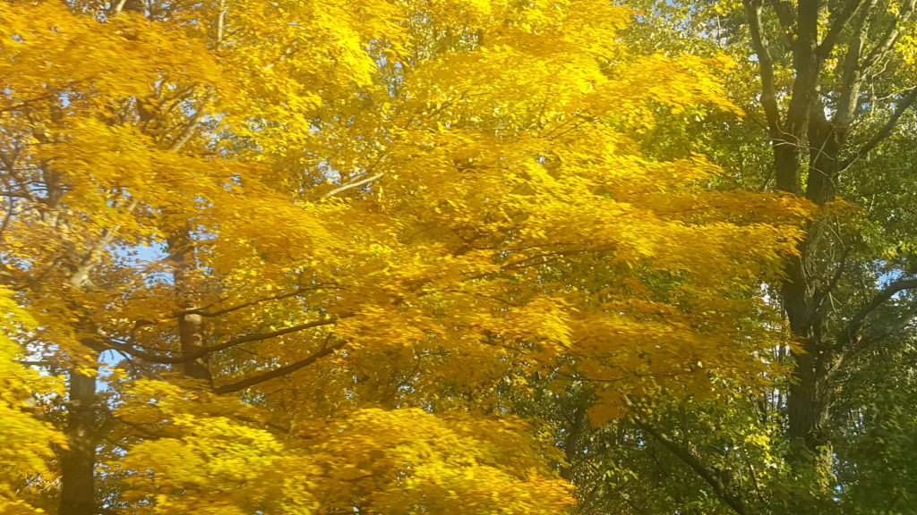 Autumn yellows #FallColors