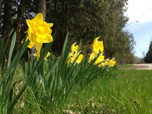 daffodils Jacksonport 2014